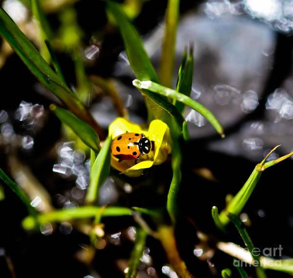 Ladybird Wall Art - Photograph - Ladybug And Buttercup by Mitch Shindelbower