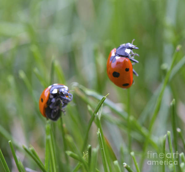 Photograph - Ladybug Duo by Donna L Munro