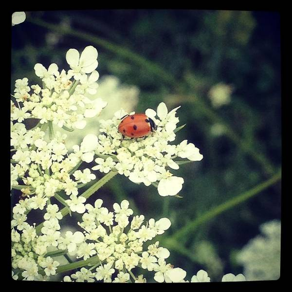 Photograph - Ladybug On Lace by Lora Mercado