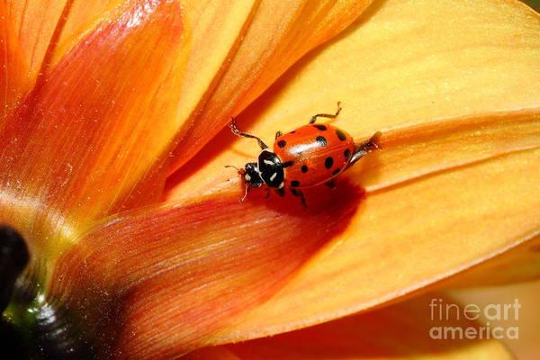 Photograph - Ladybug On Orange Yellow Dahlia . 7d14686 by Wingsdomain Art and Photography