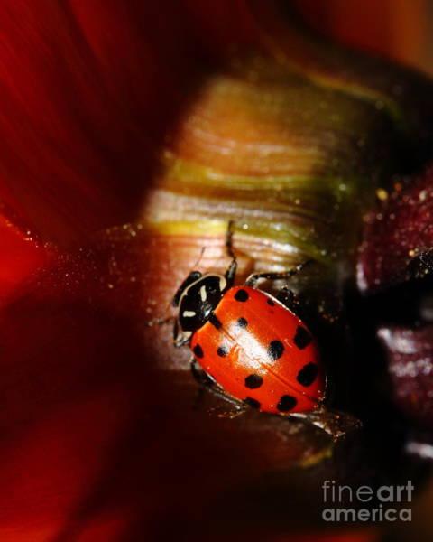 Photograph - Ladybug On Orange Yellow Dahlia . 7d14739 by Wingsdomain Art and Photography