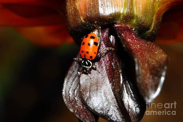 Photograph - Ladybug On Orange Yellow Dahlia . 7d14743 by Wingsdomain Art and Photography