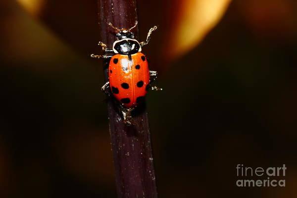 Photograph - Ladybug On Orange Yellow Dahlia . 7d14745 by Wingsdomain Art and Photography