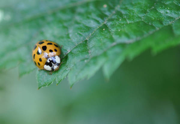 Photograph - Ladybug Posing On Astilbe Leaf by Victoria Porter