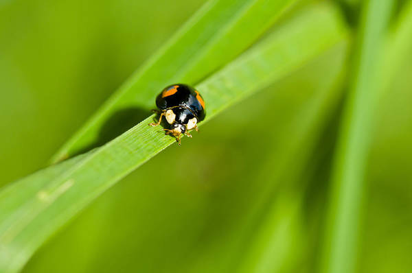 Photograph - Ladybug With Black-brown And Red Color by U Schade