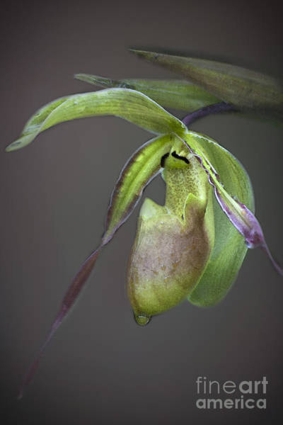 Photograph - Lady's Slipper by Heiko Koehrer-Wagner