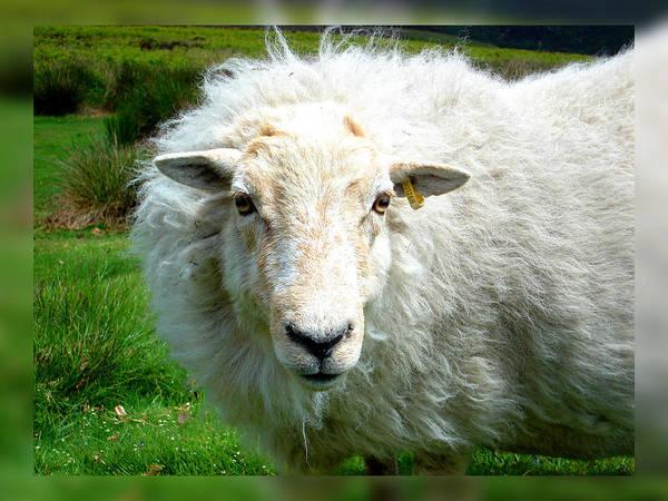 Photograph - Lamb by Roberto Alamino