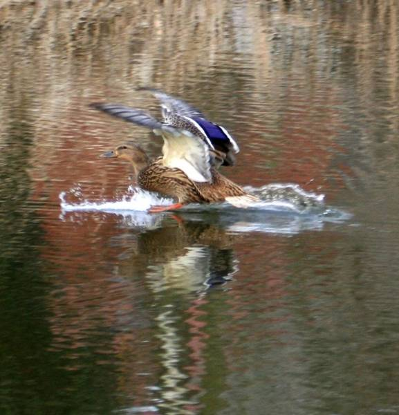 Wall Art - Photograph - Landing Duck by Valia Bradshaw