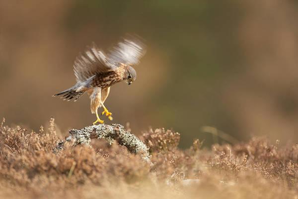 Landing Merlin Falco Columbarius   Art Print by Nigel  Atkinson