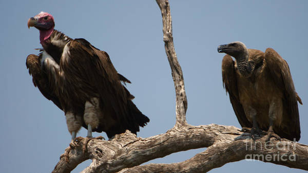 Photograph - Lappetfaced And Whitebacked Vultures by Mareko Marciniak