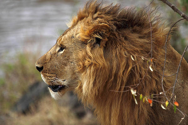 Carole King Photograph - Large Male Lion Emerging From The Bush by Carole-Anne Fooks