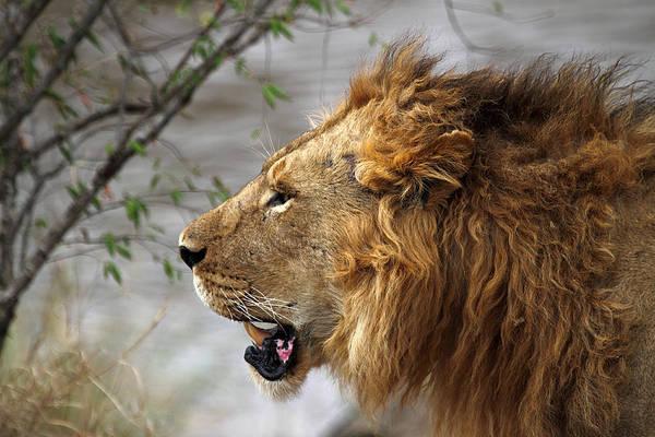 Carole King Photograph - Large Male Lion Profile Portrait by Carole-Anne Fooks