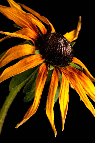 Photograph - Last Day Of A Black-eyed Susan by  Onyonet  Photo Studios