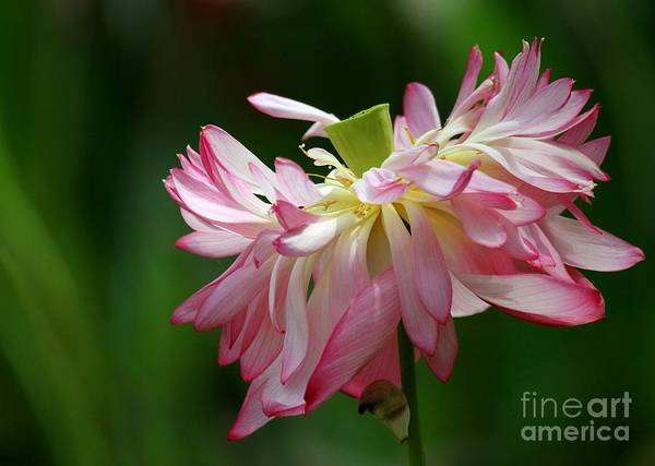 Photograph - Last Days Of A Lotus by Sabrina L Ryan