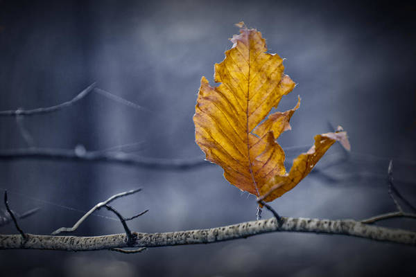 Photograph - Last Leaf Of Autumn by Randall Nyhof