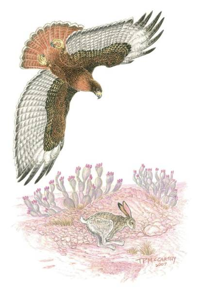 Avian Drawing - Last Tracks- Redtail With Jackrabbit by Tim McCarthy