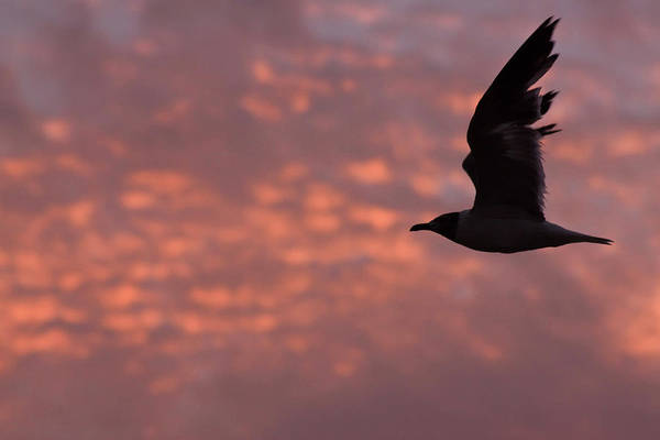 Photograph - Laughing Gull At Sunset by Tom Singleton