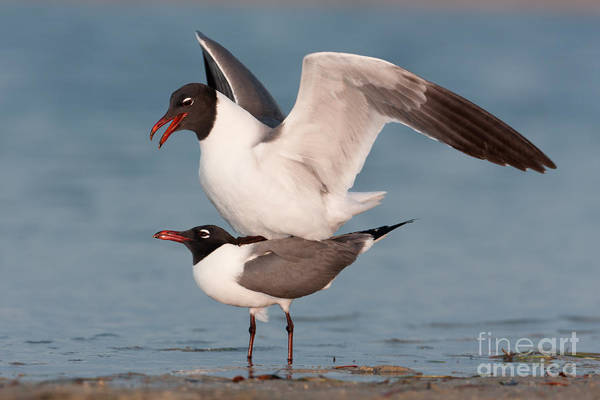 Photograph - Laughing Gulls Mating by Clarence Holmes