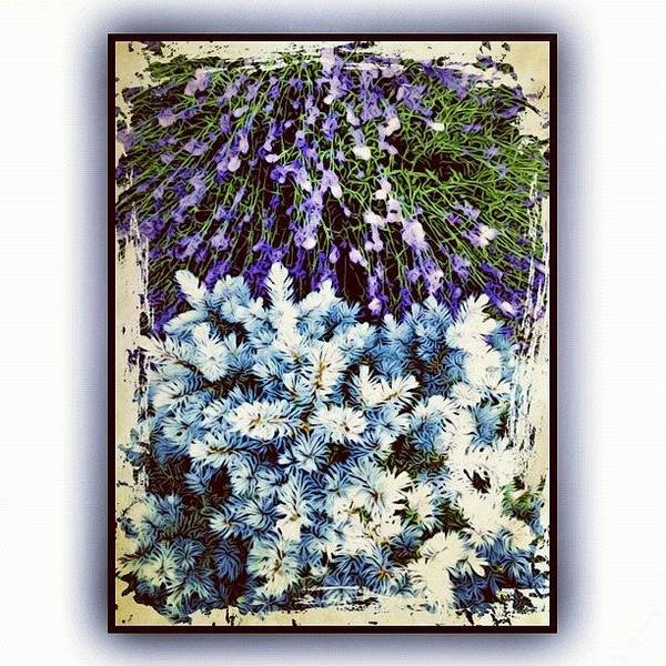 Fineart Wall Art - Photograph - Lavender And Blue Spruce by Paul Cutright