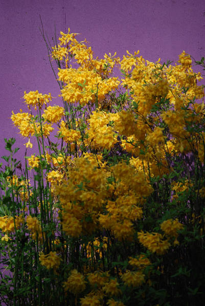 Forsythia Photograph - Lavender And Yellow by Skip Willits