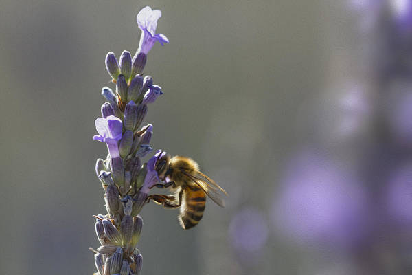 Photograph - Lavender Bee by Clare Bambers