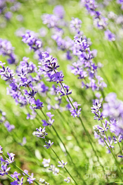 Herbs Photograph - Lavender In Sunshine by Elena Elisseeva