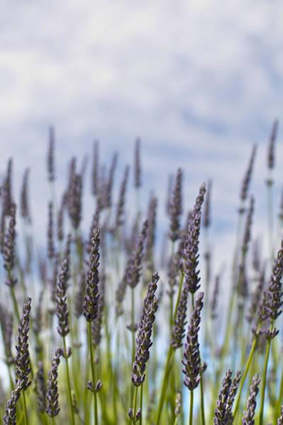 Wall Art - Photograph - Lavender Stalks by Rebecca Cozart