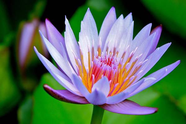 Wall Art - Photograph - Lavender Water Lily  by Karon Melillo DeVega