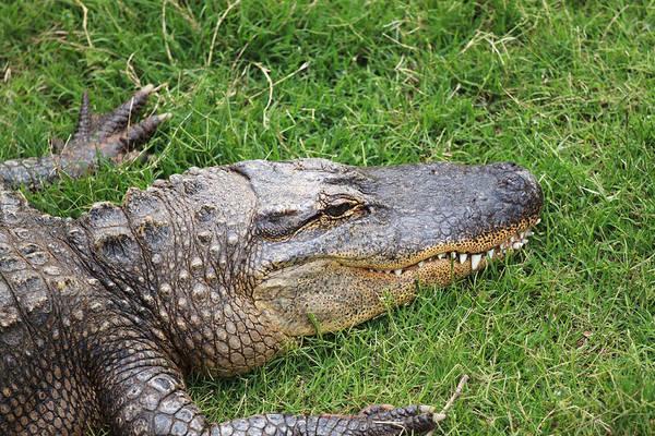 Ugly Photograph - Lazy Gator by Ricky Barnard