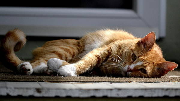 Orange Tabby Photograph - Lazy Morning by Fraida Gutovich