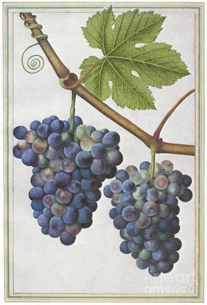 Photograph - Le Moyne: Grape Vine, C1585 by Granger