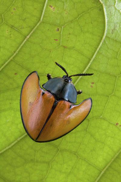 Wall Art - Photograph - Leaf Beetle Paramaribo Surinam by Piotr Naskrecki