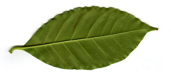 Dicotyledons Photograph - Leaf Of A Coffee Plant Coffea Sp by Ted Kinsman
