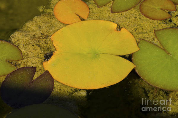 Photograph - Leaf On A Pond by Donna Greene