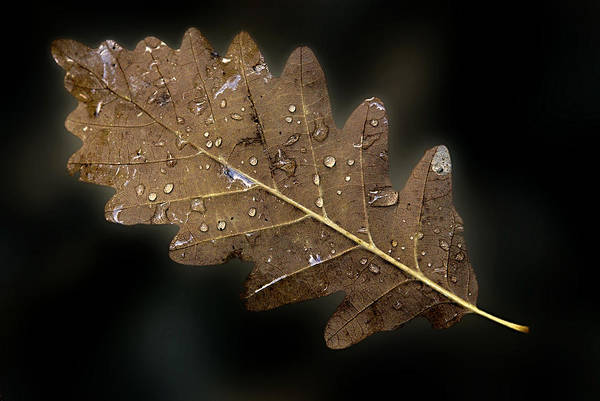 Photograph - Leaf With Drops by Odon Czintos