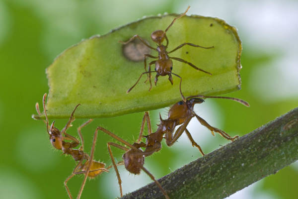 Wall Art - Photograph - Leafcutter Ants Costa Rica by Piotr Naskrecki