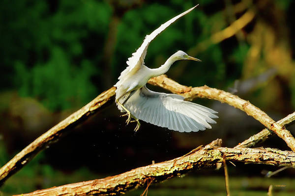 Photograph - Leaping Great Egret by Steven Llorca