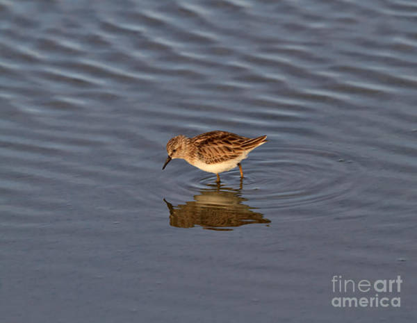 Wall Art - Photograph - Least Sandpiper by Louise Heusinkveld