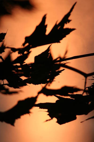 Leaves In Sunset Art Print by Carolyn Reinhart