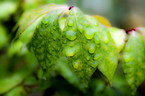 Photograph - Leaves With Water Drops by Lee Santa
