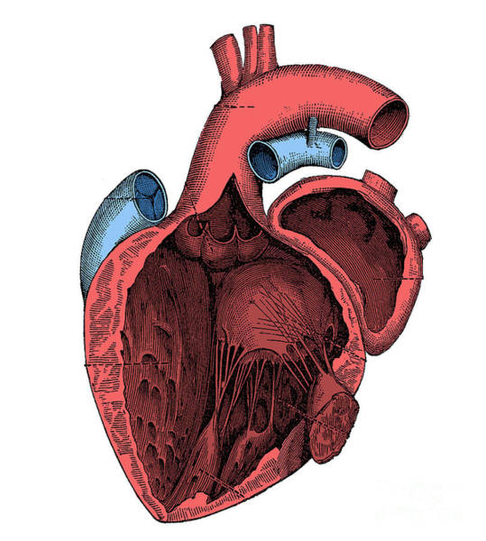 Photograph - Left Side Of The Heart by Science Source