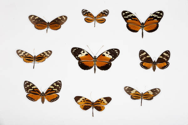Clearwing Moth Photograph - Left To Right, From Top Nymphalid by Christian Ziegler