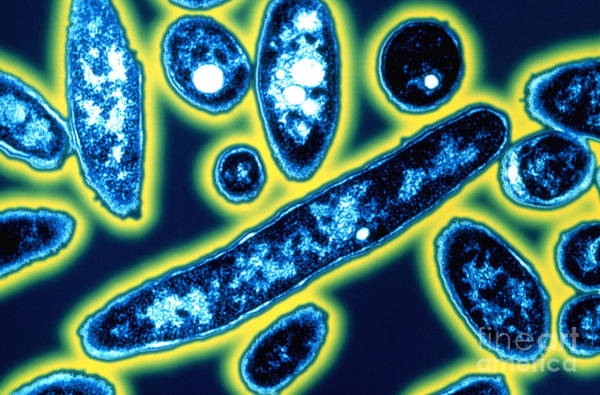 Photograph - Legionella Bacteria by Science Source