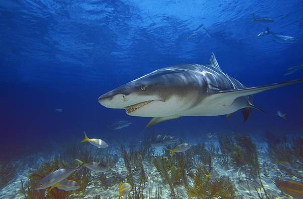 Carcharhinidae Photograph - Lemon Shark by Carson Ganci