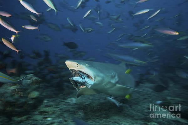 Photograph - Lemon Shark Chomps Down On A Large Tuna by Terry Moore