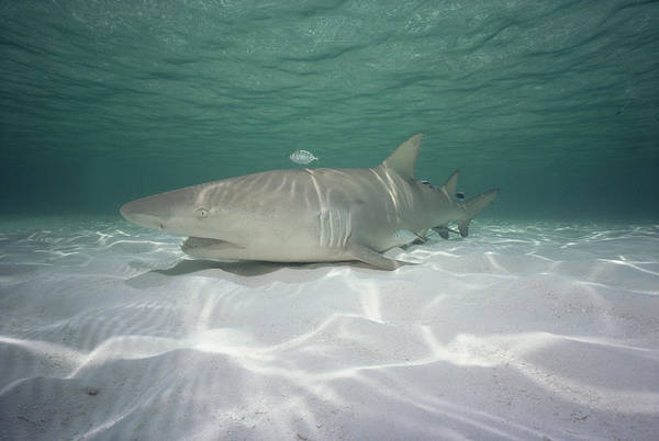 Carcharhinidae Photograph - Lemon Shark Negaprion Acutidens by Flip Nicklin
