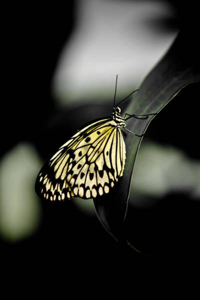 Hakon Photograph - Lemon Yellow Butterfly by Hakon Soreide