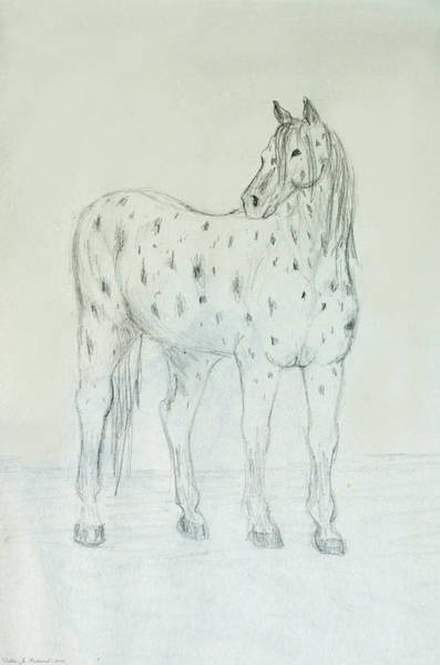 Appaloosa Drawing - Leopard Appaloosa Sketch by Debbie Portwood