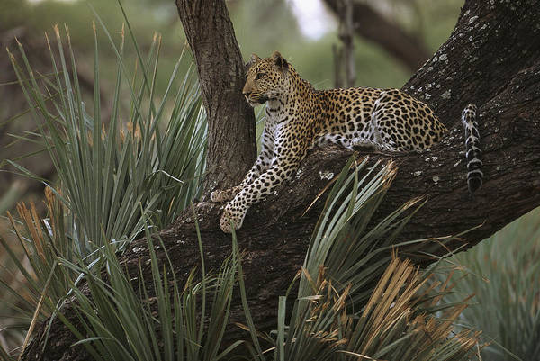 Photograph - Leopard Panthera Pardus Lounging by Pete Oxford