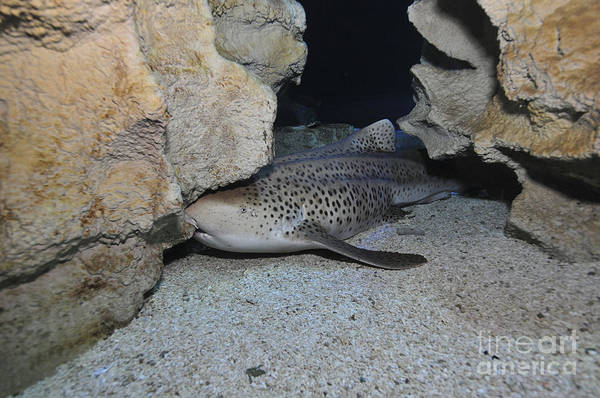 Photograph - Leopard Shark, Blue Zoo Aquarium by Mathieu Meur